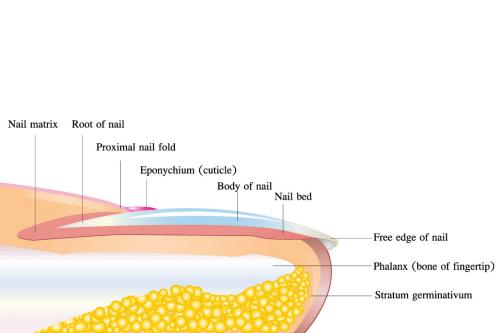 Basic Lessons on Toenail Anatomy